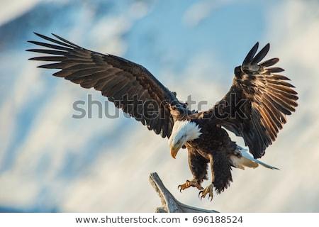vogel · buit · vlucht · groot · vleugels · scherp - stockfoto © krisdog