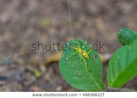 緑 · グラスホッパー · 白 · ジャンプ · 脚 · 昆虫 - ストックフォト © kenishirotie