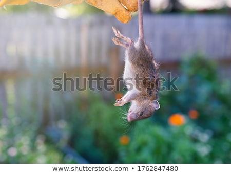 dead rat stock photo © foka