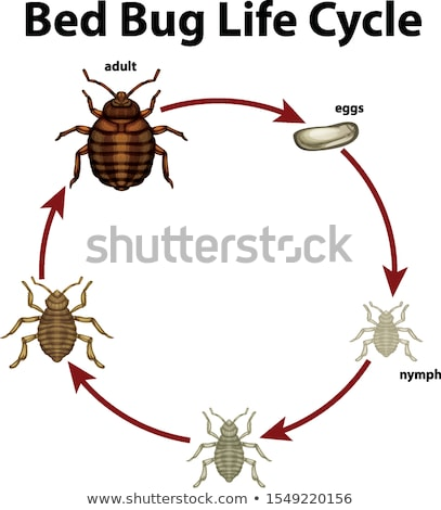 Diagram showing life cycle of bed bug Stock photo © bluering