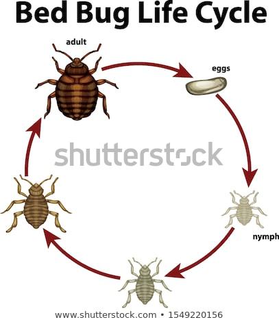 Leben · Zyklus · Diagramm · Illustration · Ei · Kunst - stock foto © bluering