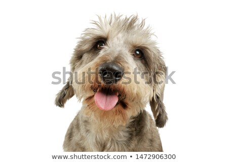 Studio shot of an adorable Dachshund with a mixed breed dog Stock photo © vauvau
