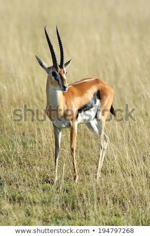 Gazela savana ilustração animais selva desenho animado Foto stock © adrenalina