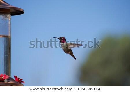 Kolibri Flug Weg Flügel Vogel grünen Stock foto © mybaitshop