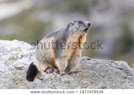 sentinel marmot stock photo © antonio-s
