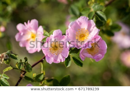 Dog-rose with green leafs and pink flowers stock photo © boroda