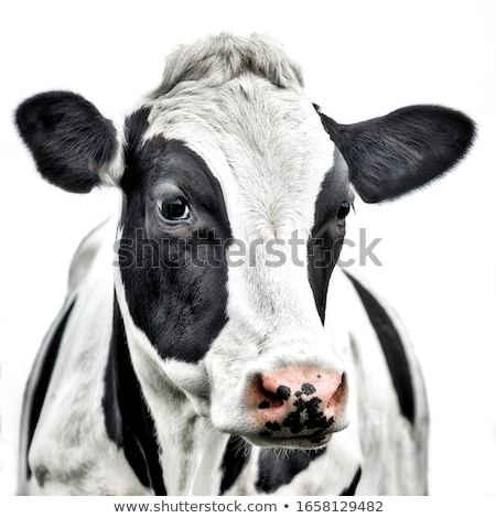 cow portrait Stock photo © chrisroll