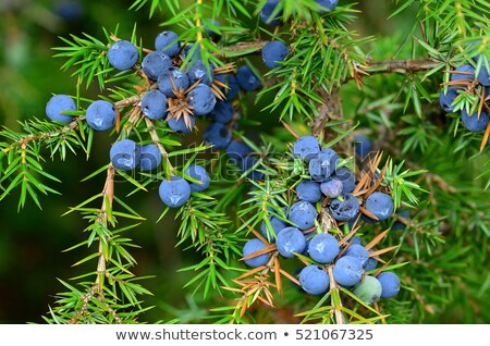Juniper berries on bush close-up Stock photo © pzaxe