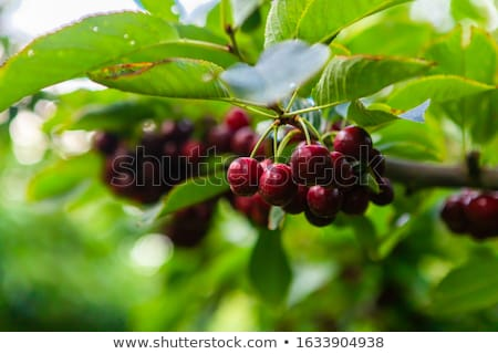 Stock photo: Lapin cherries