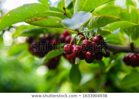 Lapin cherries stock photo © fotogal