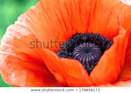 red corn poppy detail stock photo © prill