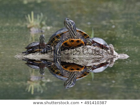 Three Painted Turtles in a Marsh Stock photo © rhamm
