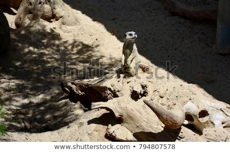 Stock photo: meercat climbing up a rock