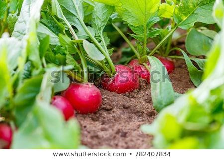 friss · zöldségek · fenyőfa · fa · asztal · közelkép · természet - stock fotó © naffarts