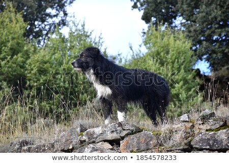 observant black puppy stock photo © nelosa