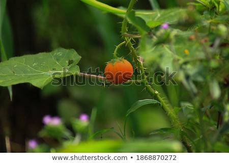 Verde cucaracha Berry árbol naturaleza planta Foto stock © stoonn