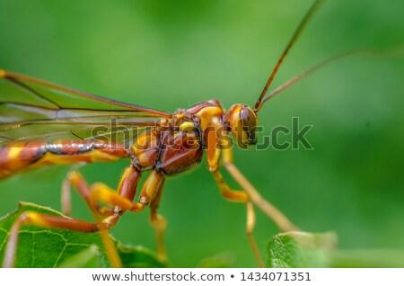 Wesp insect soorten Stockfoto © Stocksnapper