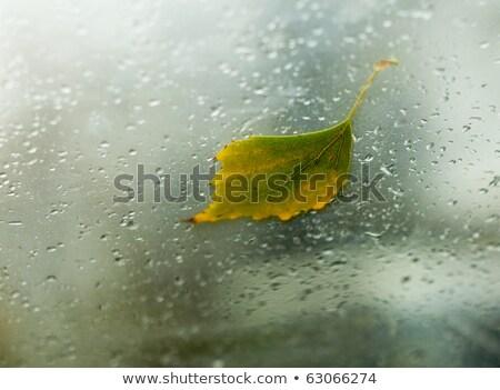ősz nyírfa levél szélvédő autó bent Stock fotó © pashabo