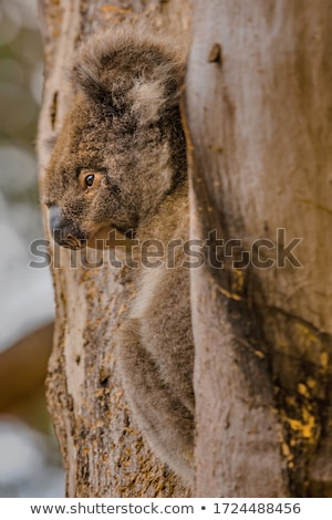 adorable koala bear taking a nap sleeping on a tree Stock photo © alex_grichenko