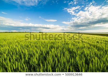 молодые · пшеницы · почвы · облачный · Blue · Sky - Сток-фото © stevanovicigor