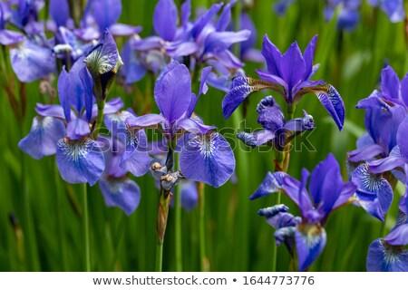 Bandiera Iris bella fiore giallo primo piano natura Foto d'archivio © chris2766