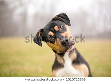 Attento cane nero isolato bianco poco profondo Foto d'archivio © naumoid