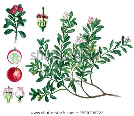 Lingonberry twig Stock photo © olandsfokus