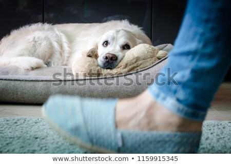 Colpevole golden retriever cane ritratto giallo Foto d'archivio © simply