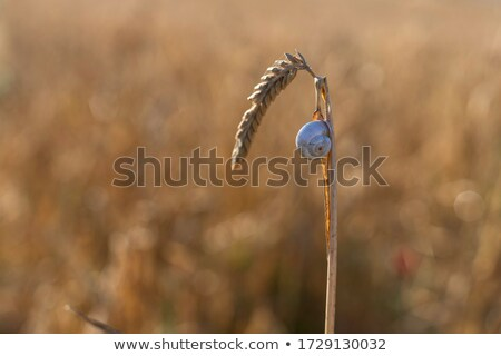 Maduro trigo caracol fundo verão Foto stock © deandrobot