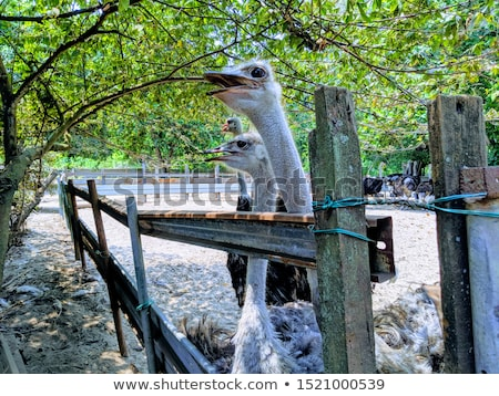 Ostriches in a farm in Johor, Malaysia Stock photo © tang90246