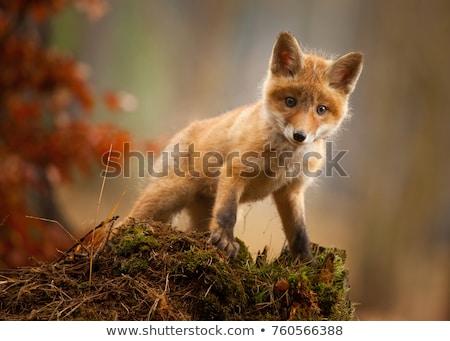 Bebek tilki genç kırmızı çim Stok fotoğraf © jeffmcgraw