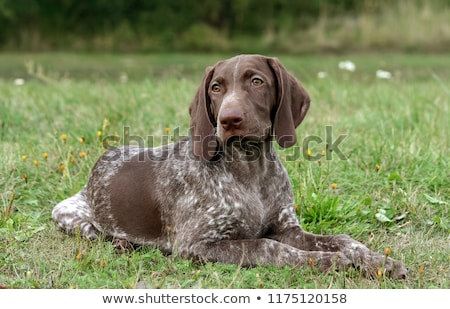 German Shorthaired Pointer dog. stock photo © iofoto
