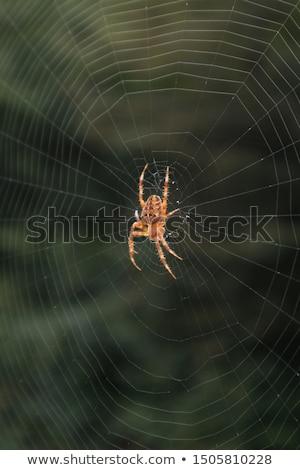 Stock fotó: Spider In Its Net
