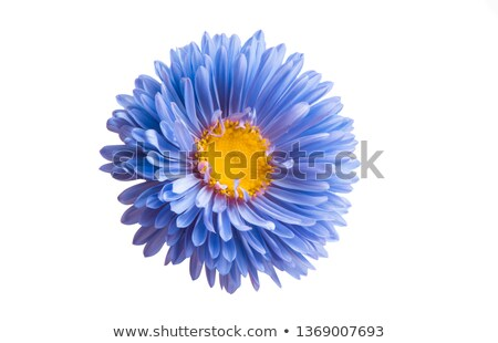 Aster flowers Stock photo © manfredxy