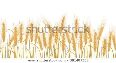 Сток-фото: границе · кукурузы · области · зеленый · коричневый