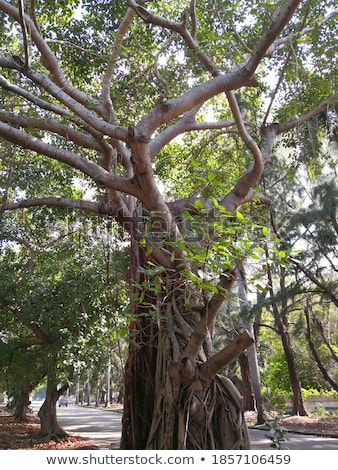 Ağaç büyüyen Küba tropikal ahşap yağmur Stok fotoğraf © Klinker