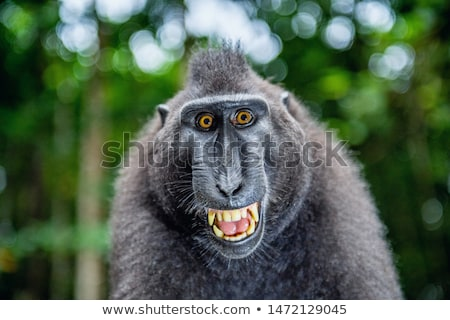 celebes crested macaque stock photo © artush