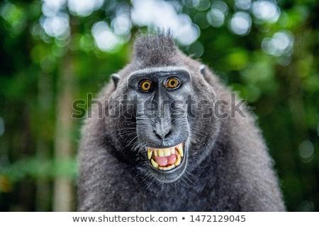 Fekete majom Indonézia emberszabású majom portré sötét Stock fotó © artush