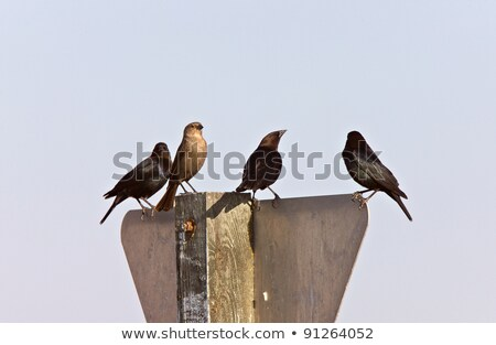 CowBirds on A Yield Sign Saskatchewan Canada Stock photo © pictureguy
