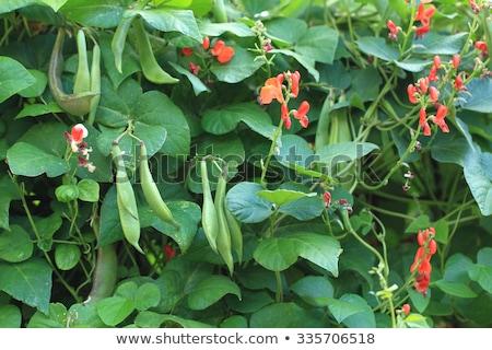 Koşucu fasulye bitki çiçek sebze bahçe Stok fotoğraf © Virgin