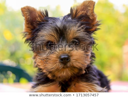 girl with yorkie dog stock photo © svetography