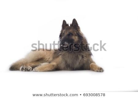 Stok fotoğraf: Köpek · beyaz · stüdyo · saç · arka · plan