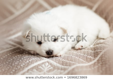 Stock photo: beautiful brown fluffy puppy
