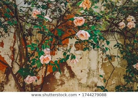 Stone wall and bush Stock photo © IS2