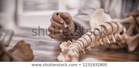 orvos · mutat · anatómiai · gerincoszlop · klinika · iroda - stock fotó © wavebreak_media