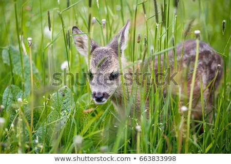 new born fawn Stock photo © dcwcreations