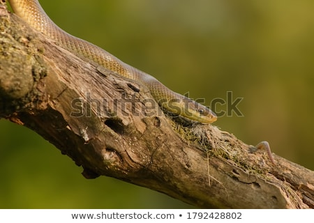 Hermosa juvenil serpiente posición cara medicina Foto stock © taviphoto