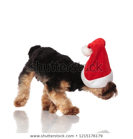 vista · lateral · curioso · yorkshire · terrier · pie - foto stock © feedough