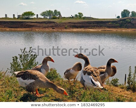 goose bird white and brown in farmyard Stock photo © lunamarina