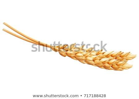 Stockfoto: Ear Of Wheat Icons Closeup Set Vector Illustration